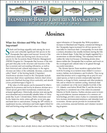 Cover image of Ecosystem-Based Fisheries Management for Chesapeake Bay: Summary Brief from the Alosines Species Team.